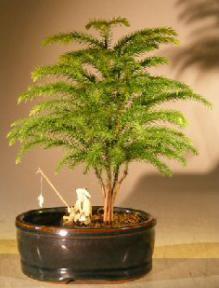 Norfolk Island Pine Bonsai Tree<br>Land/Water Container - Small<br><i>(Araucaria Heterophila)</i>