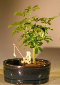 Hawaiian Umbrella Bonsai Tree <br>Land/Water Pot - Small<br><i>(arboricola schefflera 'luseanne')</i>