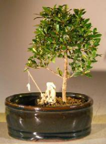 Flowering Brush Cherry Bonsai Tree<br>Water/Land Container - Small<br><i>(eugenia myrtifolia)</i>