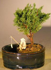 Shimpaku Juniper Bonsai Tree<br>Water/Land Container - Small<br><i>(shimpaku itoigawa)  </i>