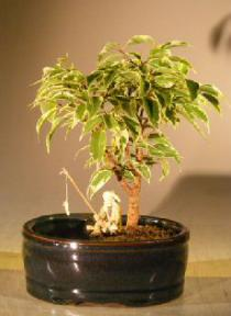 Ficus Bonsai Tree Variegated<br>Water/Land Container - Small<br><i>(ficus benjamina) </i>