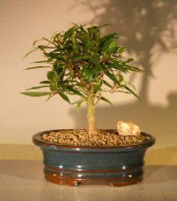 Willow Leaf Ficus Bonsai Tree - Small<br><i>(Ficus Nerifolia/Salisafolia)</i>