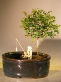 Flowering Tropical Boxwood Bonsai Tree<br>Land/Water Container - Small<br><i>(neea buxifolia) </i>