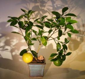 Navel Orange - Seedless<br><i>(Citrus' Sinensis)</i>