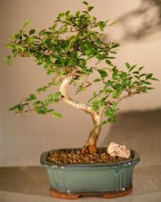 Chinese Elm Bonsai Tree<br><i></i>Trained Curve Trunk Style - Small<br><i></i>(Ulmus Parvifolia)