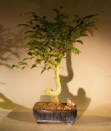 Oriental Ficus Coiled Bonsai Tree - Large<br><i>(ficus benjamina 'orientalis')</i>