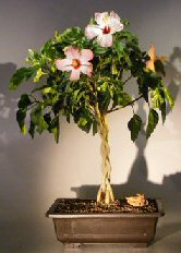 Flowering Tropical Pink Hibiscus<br> Braided Trunk<br><i> (rosa sinensis)</i>