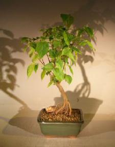 Flowering Kousa Dogwood Bonsai Tree<br><i> (cornus kousa 'chinensis')</i>