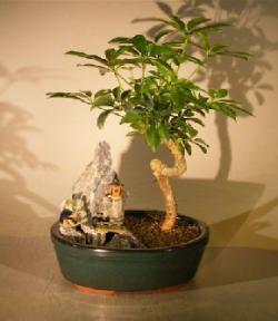 Hawaiian Umbrella Bonsai Tree - Coiled Trunk <br>Stone Landscape Scene<br><i>(Arboricola Schefflera 'Luseanne')</i>