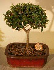 Chinese Elm Bonsai Tree<br>Straight Trunk<br><i>(ulmus parvifolia)</i>