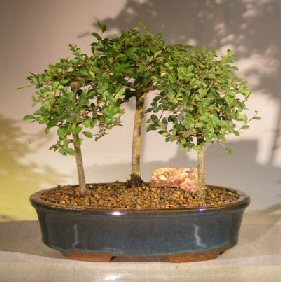Chinese Elm Bonsai Tree<br>3 Tree Forest Group Scene<br><i> (ulmus parvifolia)</i>