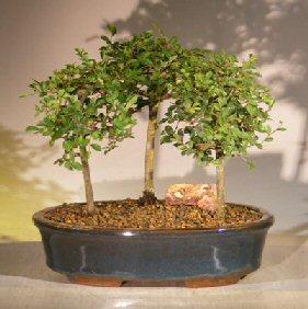 Chinese Elm Bonsai Tree<br>3 Tree Forest Group Scene<br><i> (ulmus parvifolia)</i>