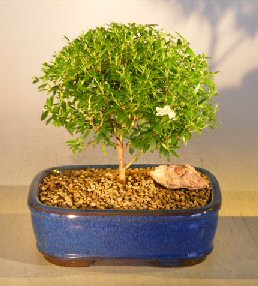 Flowering Myrtle Bonsai Tree - Medium<br><i>(myrtus communis 'compacta')</i>