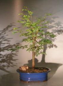 Horseflesh Mahogany Bonsai Tree - Large <br><i>(lysiloma sabicu)</i>
