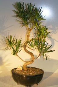 Flowering Podocarpus Bonsai Tree<br>Curved Trunk Style - Large<br><i>(podocarpus macrophyllus)</i>