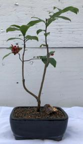Flowering Mickey Mouse Bonsai Tree <br><i>(ochna serrulata)</i>
