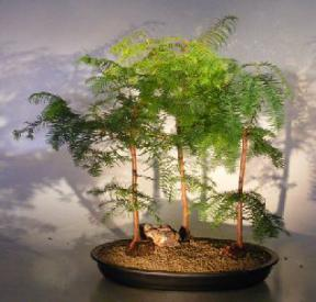 Redwood Bonsai Tree<br> Three (3) Tree Forest Group <br><i>(metasequoia glyptostroboides)</i>