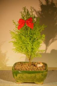 Lemon Cypress Bonsai Tree<br><i>(cupressus macrocarpa)</i>