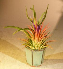 Flowering Tillandsia Bonsai Tree Air Plant<br><i>(epiphytic)</i>