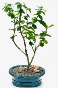 Flowering Grand Duke Jasmine<br>Bonsai Tree<br><i>(Jasminum sambac grand duke)</i>