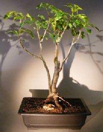 Flowering Gumbo Limbo - Root Over Rock <br><i>(bursera simaruba)</i>