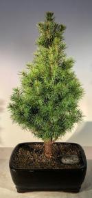 Alberta Spruce Bonsai Tree - With Holiday Bow<br><i>(Picea Glauca Conica)</i>