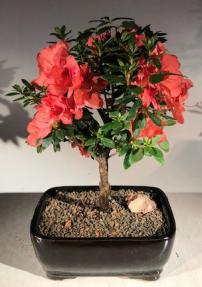 Flowering Tropical Duc De Rohan Azalea Bonsai Tree<br><i>(southern indica)</i>