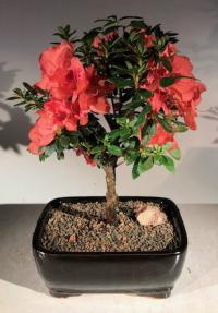 Flowering Tropical Duc De Rohan Azalea Bonsai Tree <br><i>(southern indica)</i>