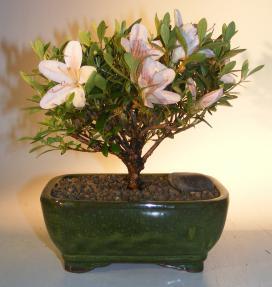 Flowering Azalea Bonsai Tree<br><i>(Rhododendron 'obtusum')</i>