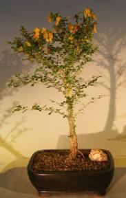 Flowering Jamaican Raintree Bonsai Tree<br><i>(brya ebenus)</i>