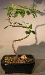 Paper Birch Bonsai Tree<br>Curved