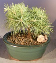 Deodar Cedar 'Snow Sprite' Bonsai Tree - Small<br><i>(cedrus deodara)</i>
