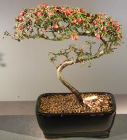 Flowering & Fruiting Evergreen Cotoneaster Bonsai Tree<br>Curved Trunk Style<br><i>(dammeri 'streibs findling')</i>