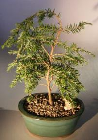 Canadian Hemlock Prostrate Bonsai Tree<br><i>(tsuga canadensis 'coles prostrate')</i>