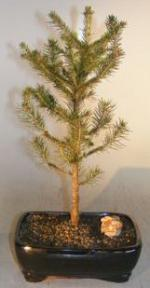 Norway Spruce Bonsai Tree<br><i>(picea abies)</i>