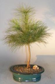 Eastern White Pine Bonsai Tree<br><i>(pinus strobus-manis)</i>