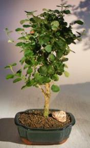 Flowering Yellow Mallow Hibiscus Bonsai Tree <br><i>(paronia praemorsa)</i>