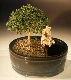 Flowering Mount Fuji Bonsai Tree<br>Water/Land Container - Small<br><i>(serissa foetida)</i>