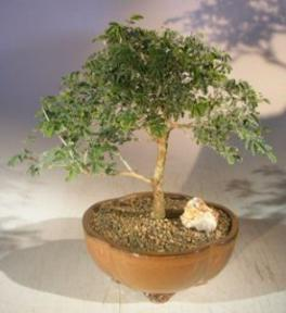 Flowering Mimosa Bahamensis Bonsai Tree<br><i>(Mimosa bahamensis)</i>