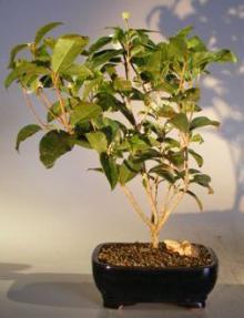 Flowering Sweet Tea Olive Bonsai Tree<br><i>(osmanthus fragrans)</i>