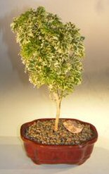 Dwarf Snowflake Parsley Aralia Bonsai Tree<br><i>(polyscais 'parsley' variegated)</i>