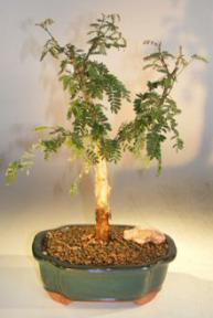 Monkey Thorn Bonsai Tree<br><i>(acacia galpiwii)</i>