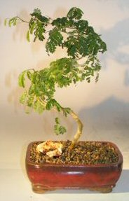 Flowering Brazilian Raintree Bonsai Tree<br>Curved Trunk Style<br><i>(pithecellobium torturn)</i>