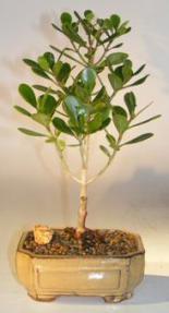 Flowering Tropical Dwarf Apple Bonsai Tree - Medium<br><i>(clusia rosea 'nana')</i>