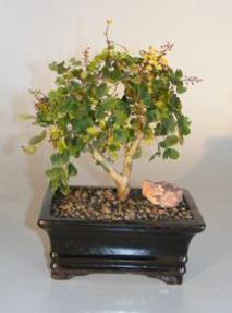 Flowering Campeche Bonsai Tree - Medium<br><i>(haematoxylum campechianum)</i>
