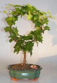 Decorative Ivy Wreath<br><i>(hedera helix)</i>