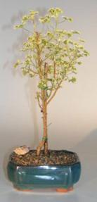 Flowering Pelargonium 'French Lace' Bonsai Tree<br><i>(pelargonium crispum)</i>