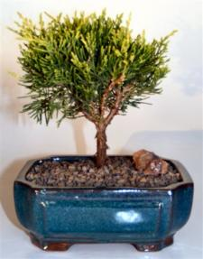 Golden Joy Shimpaku Juniper <br><i>(juniperus pfitzeriana)</i>