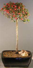 Flowering & Fruiting Evergreen Cotoneaster Bonsai Tree <br>Upright Style<br><i>(dammeri 'streibs findling')</i>