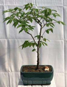 Flowering Japanese Loose Hornbeam Bonsai Tree<br><i> (carpinus laxiflora)</i>